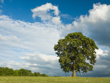 Lonely Tree In Green Meadow, Background Is Clouds
