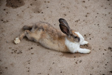 Rabbit - Brown And White Lying...