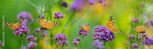 Photo  The panoramic view the garden flowers and butterflies Vanessa cardui