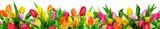 Fototapeta Tulipany - Colorful tulips on white background