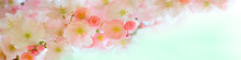 Sakura Branch With Flowers Close-up In The Panorama