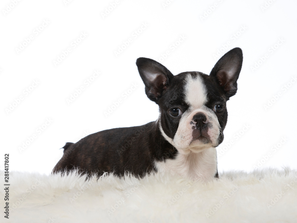 Fototapety, obrazy: Boston terrier puppy dog portrait. Image taken in a studio with white background. Puppy is 8 weeks old.