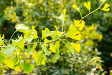 A Branch Of A Chinese Ginkgo Biloba Tree. Maidenhair Tree Autumn, Sunny Day