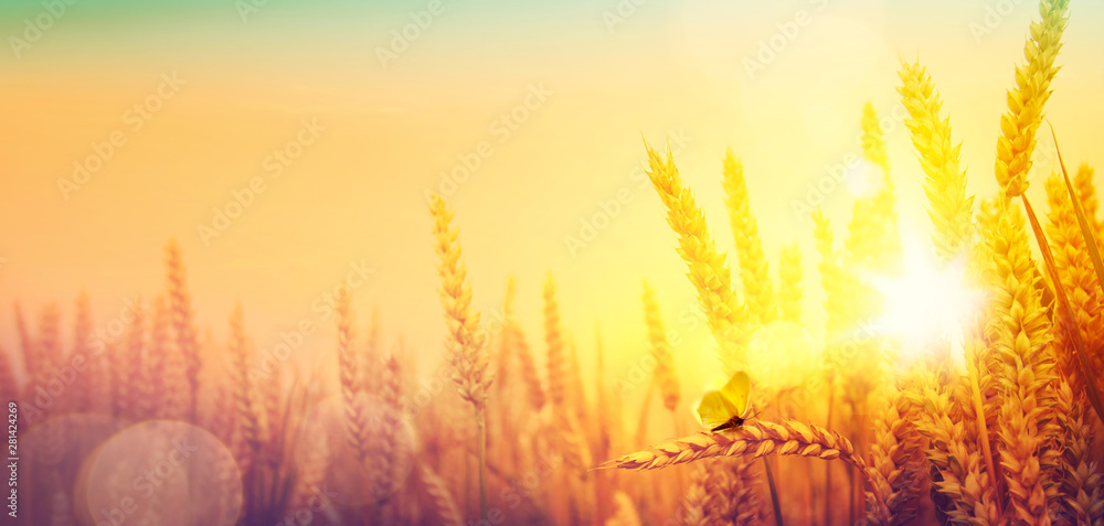 Fototapety, obrazy: Countryside landscape; sunrise over summer golden wheat field