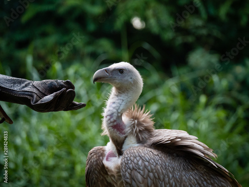 Photo White-backed Vulture Gyps africanus