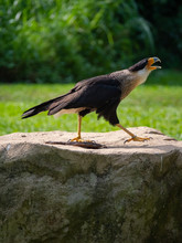 The Southern Crested Caracara ...