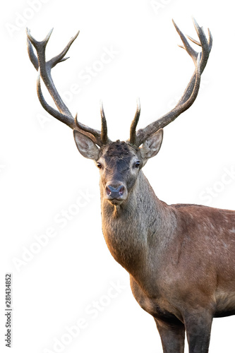 Recess Fitting Deer Close-up of red deer, cervus elaphus, stag head with antlers standing in summer isolated on white background. Cut out front view portrait of wild male mammal deer backlit at sunset.