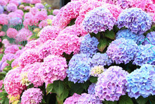 A Top View Of A Smooth Hydrangea Or Wild Hortensia Blue And Violet Flowers.