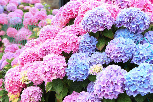 Fotografie, Tablou A top view of a smooth hydrangea or wild hortensia blue and violet flowers