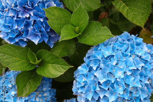 A top view of a smooth hydrangea or wild hortensia blue flowers. Fototapet