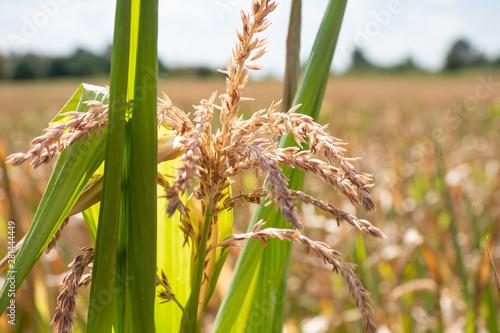 Valokuva  Mais vertrocknet - Missernte nach Hitzesommer