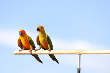Sun Conure Parrot Perched On A...