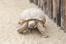 A Huge Live Turtle Crawling Through The Sand.