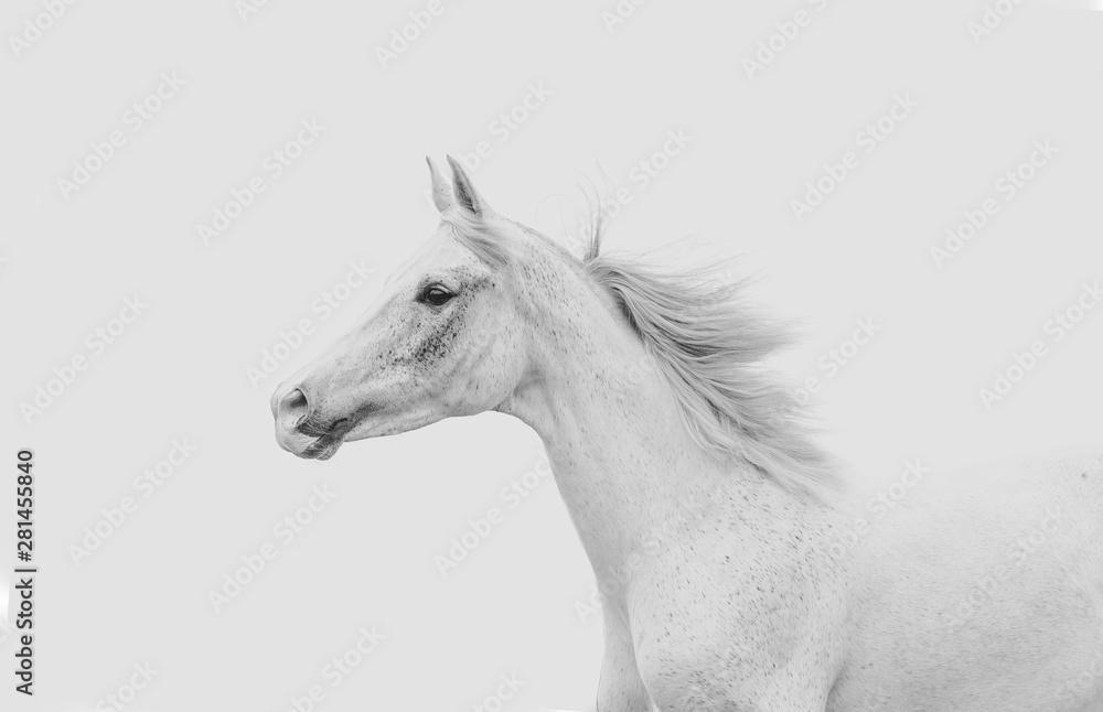 Obraz White arabian horse running fototapeta, plakat