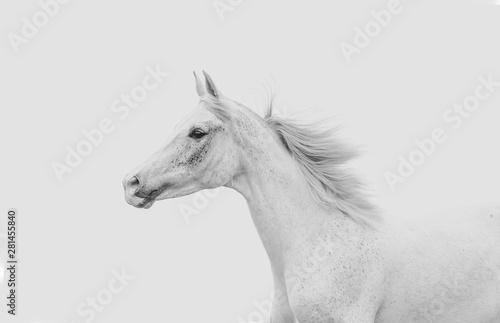 Keuken foto achterwand Paarden White arabian horse running