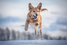 Jumping Dog In The Snow