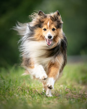Portrait Running Dog In The Wind