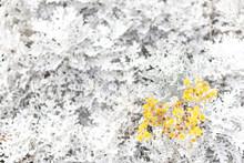 Beautiful Dusty Miller (Senecio Cineraria DC.) With Yellow Flowers In The Garden.