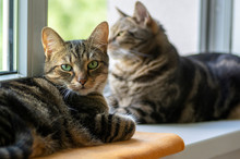 Two Lazy Domestic Tiger Cats Lying On Window Sill Relaxing