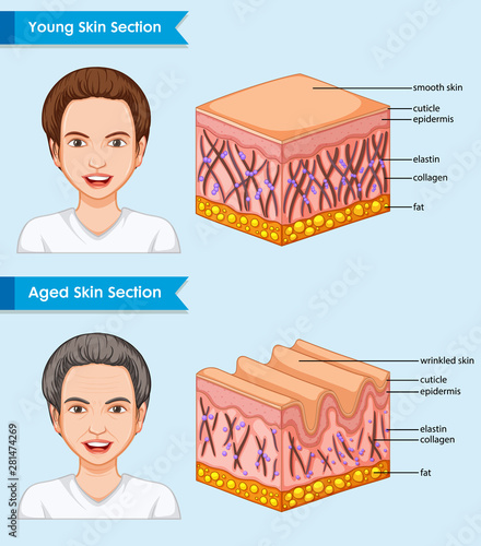 Scientific medical illustration of young and aged skin