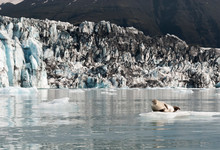 Cute Big Seal Over Ice With Glacier Lagoon On The Background At Jokulsarlon, Iceland