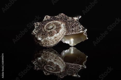 Canvastavla One whole dark grey mollusc shell isolated on black glass