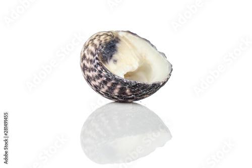 Fototapeta One whole mollusc shell neritiform isolated on white background obraz na płótnie