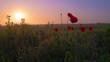 Red wild poppy flower in a field at sunrise