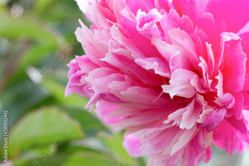Poster Rose Pink peony flower on a background of emerald greenery in the garden