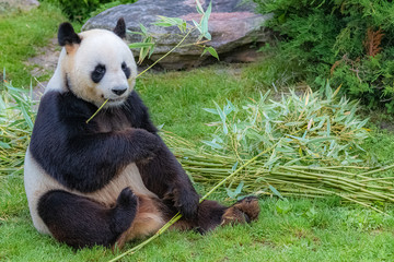 FototapetaGiant panda, bear panda eating bamboo sitting in the grass
