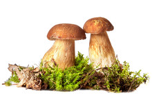 Boletus. Mushrooms And Moss. Boletus On A White Background.