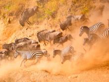 Herd Of  Wildebeests And Zebras Running Down Slope