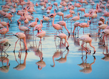 Reflection Of Pink Flamingos I...