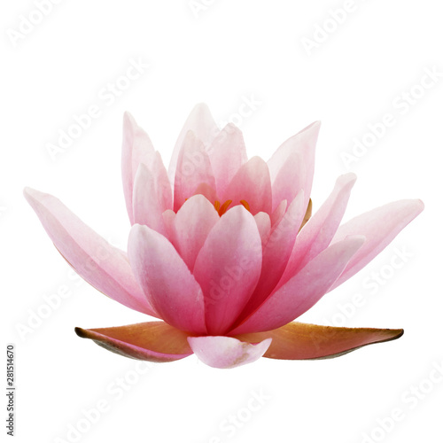 In de dag Lotusbloem Pink Lotus or Water lily isolated on white background