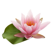 Pink Lotus Flower Or Water Lily With Green Leaf Isolated On White Background