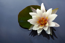 Beautiful White Lotus Or Water Lily Flowers Blooming On Pond