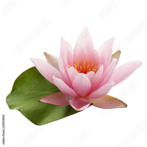 Garden Poster Lotus flower Pink lotus flower or water lily with green leaf isolated on white background