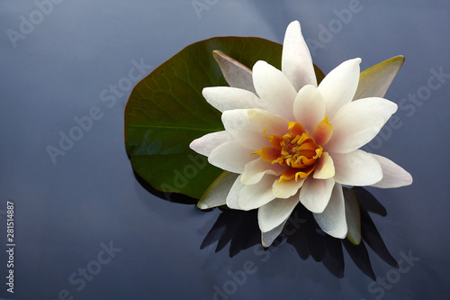 Valokuva Beautiful white lotus or water lily flowers blooming on pond