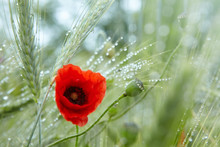 Red Poppy With Dew Drops After...