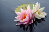 Pink and white lotus blossoms or water lily flowers blooming on pond