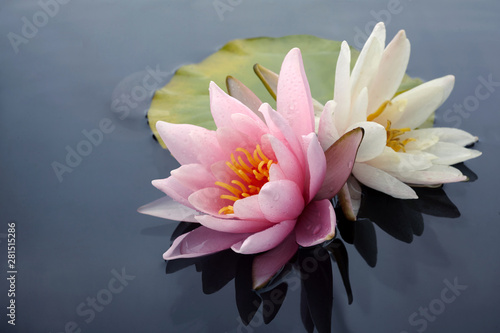 Door stickers Water lilies Pink and white lotus blossoms or water lily flowers blooming on pond