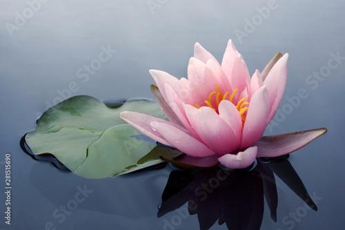 Fotomural Beautiful pink lotus or water lily flowers blooming on pond