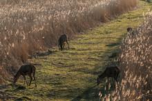 Deer Grazing Grass In Field