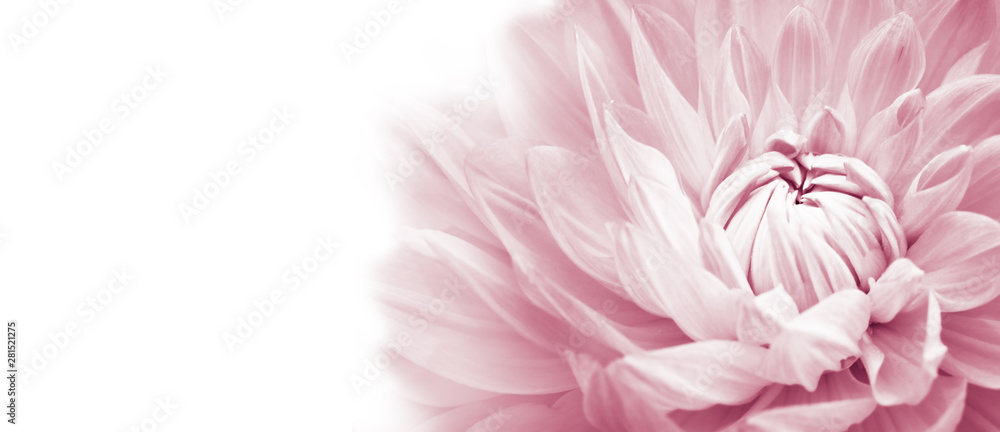 Fototapeta White and pink colourful dahlia flower macro photo with light pastel colors in white wide banner empty background panorama with large negative space for text and design. High key photo.