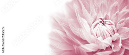 White and pink colourful dahlia flower macro photo with light pastel colors in white wide banner empty background panorama with large negative space for text and design. High key photo.