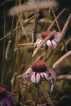 Purple Cone Flowers In A Wildflower Field
