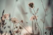 Queen Anne's Lace In A Wildflower Field