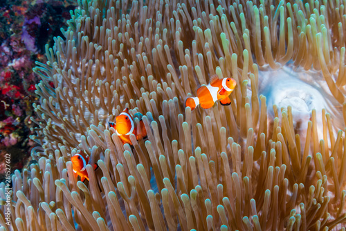 A family of Clownfish (Amphiprion ocellaris) in their host anemone on a tropical Fototapet