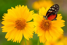 Monarch Butterfly On Yellow Su...