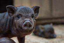 Black Mini Pig Of The Vietname...